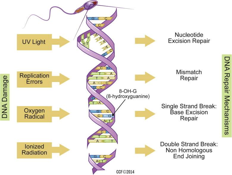 damaged sperm of Causes